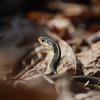 Eastern Garter Snake-5