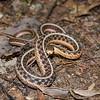 Eastern Garter Snake-10