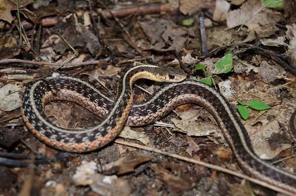 Eastern Garter Snake-1