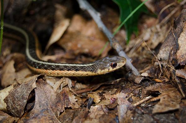 Eastern Garter Snake-14