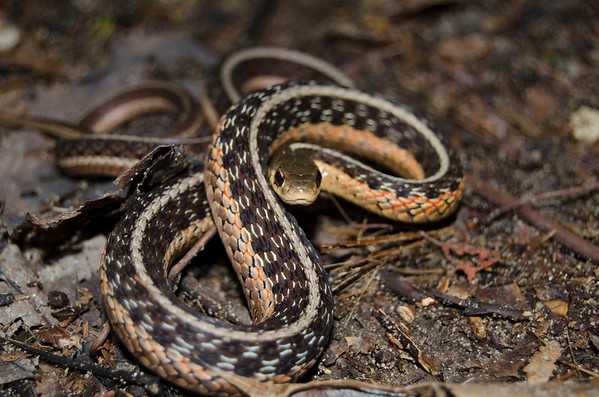 Eastern Garter Snake-7