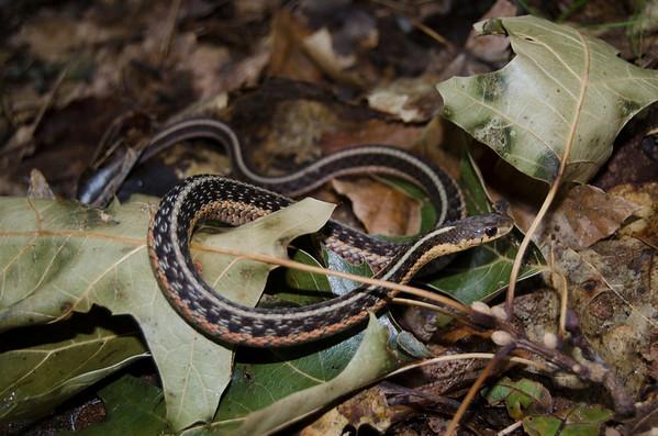 Eastern Garter Snake-8