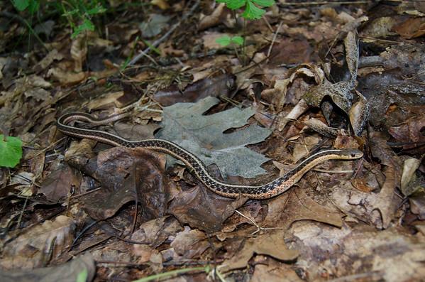Eastern Garter Snake-9