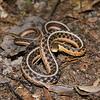 Eastern Garter Snake-11