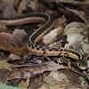 Eastern Garter Snake-12