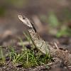 Snake, Puffer Adder