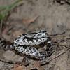 Eastern Milk Snake-3