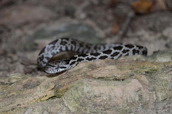 Eastern Milk Snake-5