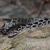 Eastern Milk Snake-7