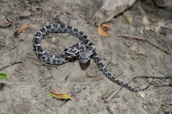 Eastern Milk Snake-6