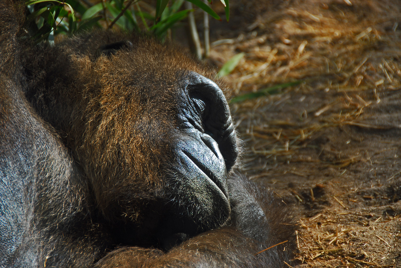 """Every few seconds this """"sleeping"""" gorilla would lift an eyelid to see if we were still standing by his cage."""