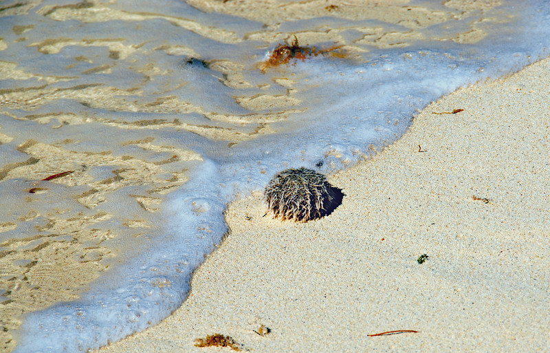 A sea urchin emerges from the surf of crystal clear Caribbean waters