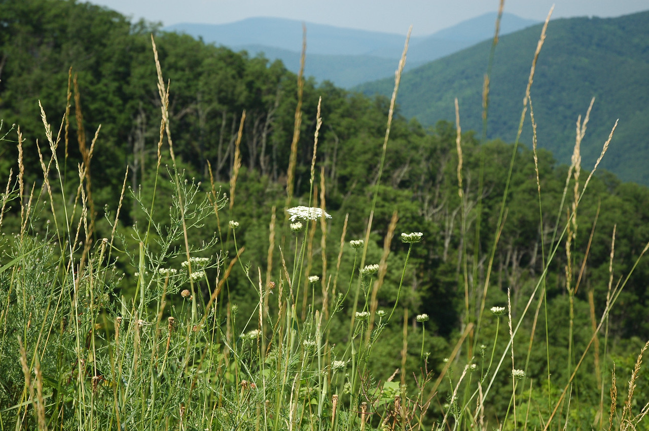 The mountains of the Skyline Drive in Virginia make a beautiful backdrop for the delicate Queen Annes Lace and overgrown grasses in the foreground.