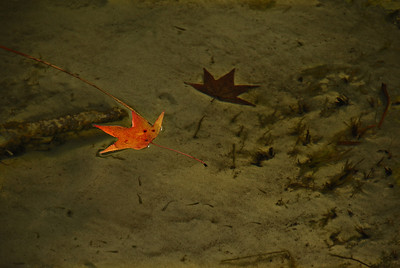 "In this photograph the leaf on the bottom of the shallow pond creates the illusion that the floating leaf is casting a shadow. But the sharp eye will discern the ""shadow"" on the bottom of the pond could not be a shadow of the floating leaf. Can you see why?"