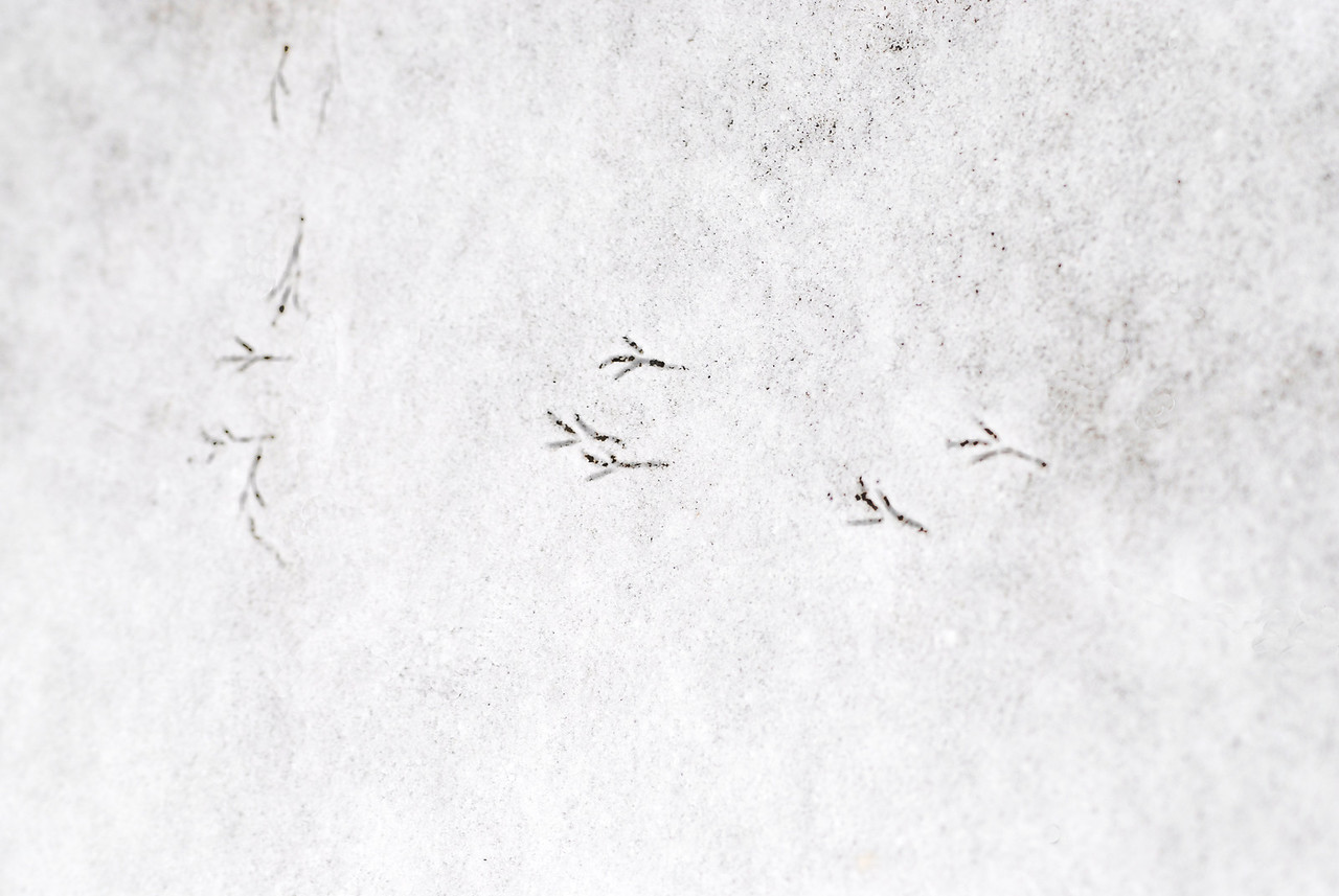 These footprints reveal a trail taken by a desparate bird seeking food after the first snowfall