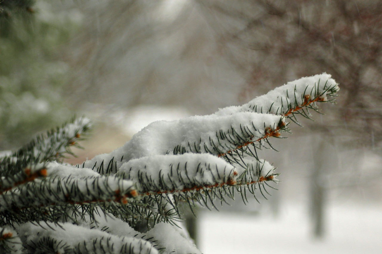 The evergreen branches bow to the weight of freshly fallen snow