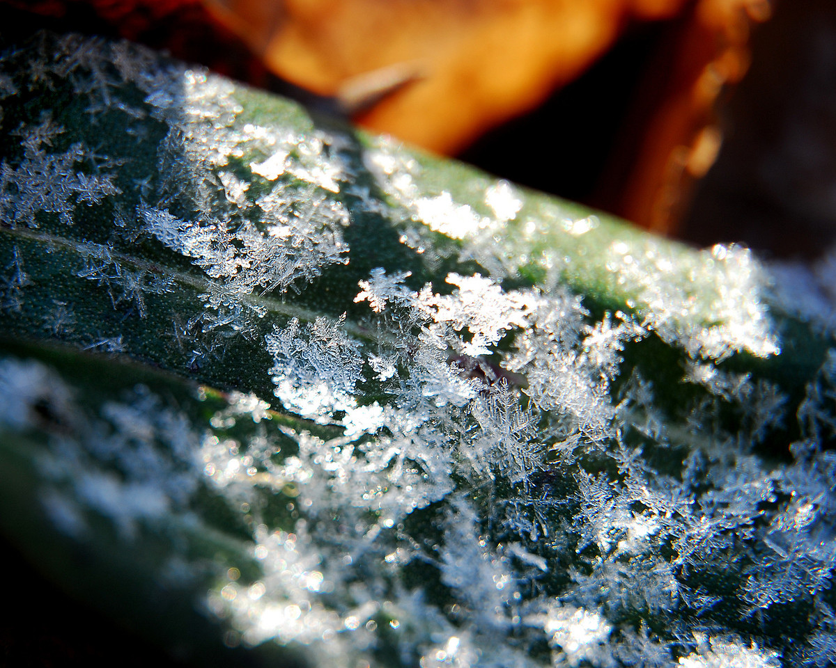 Gathering snow on the ivy