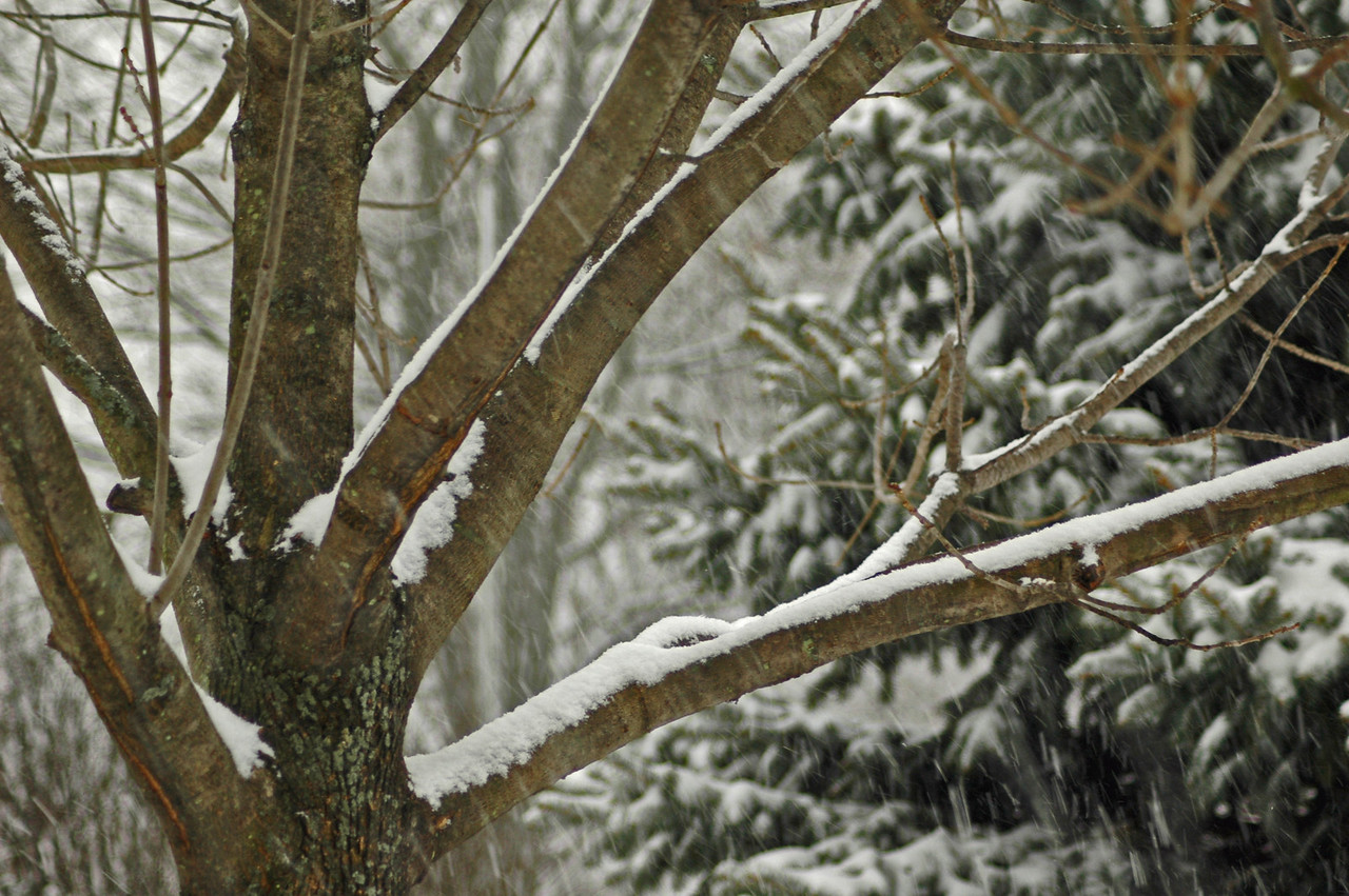 Snow clinging to the tree limbs as more snow falls makes for a winter wonderland scene
