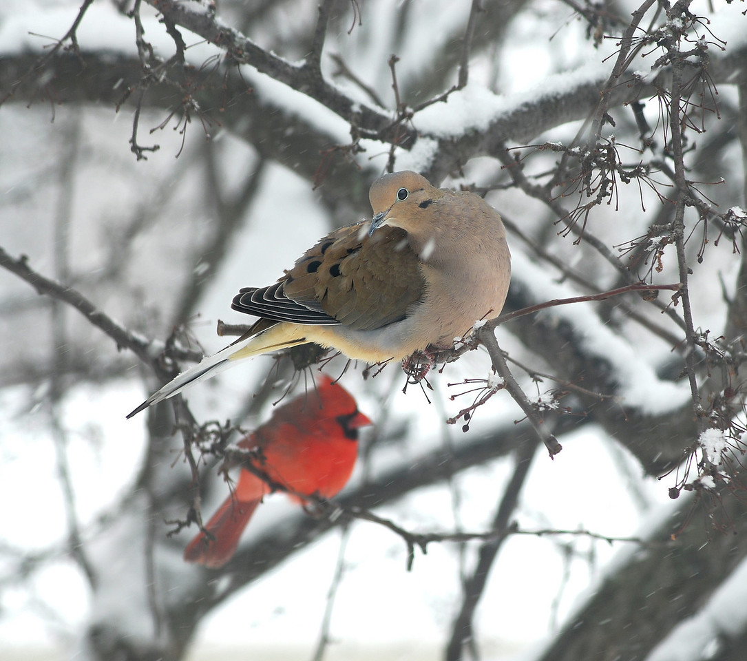 Mourning Dove and Cardinal weather a winter snowfall