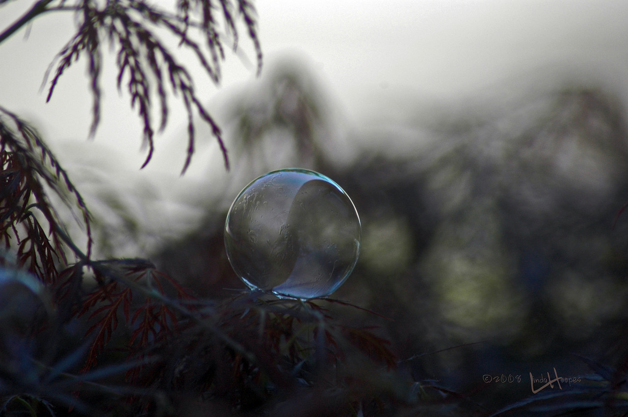 This delicate bubble rests ever so lightly on the pointed leaves of this bush