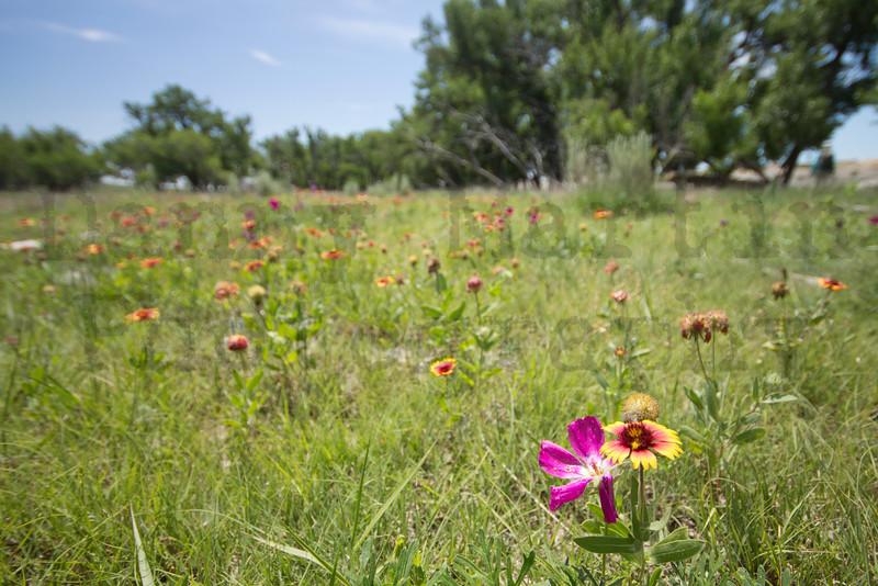 Purple Poppy Mallow & Indian Blanket<br /> southern Kansas
