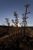 Cholla cactus.  New Mexico.