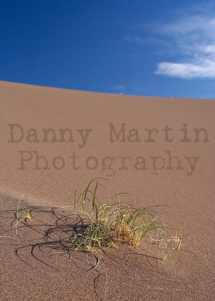Grass in the dunes.  Great Sand Dunes National Park, CO.