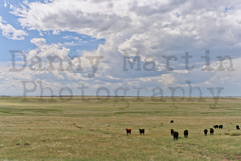 Black and Red Angus<br /> Pawnee National Grassland, Weld County, Colorado.