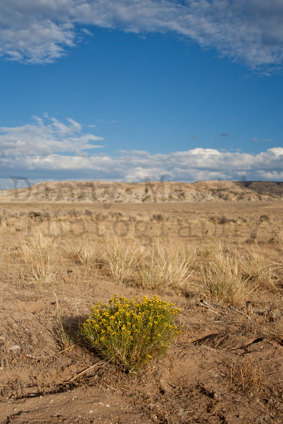 Last flowering shrub, autumn in the Little Snake river valley.  Moffat County, Colorado.