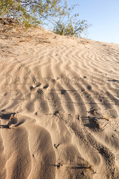 Arthropod tracks across the sand dunes.  BLM East Mesa, Imperial County, California.