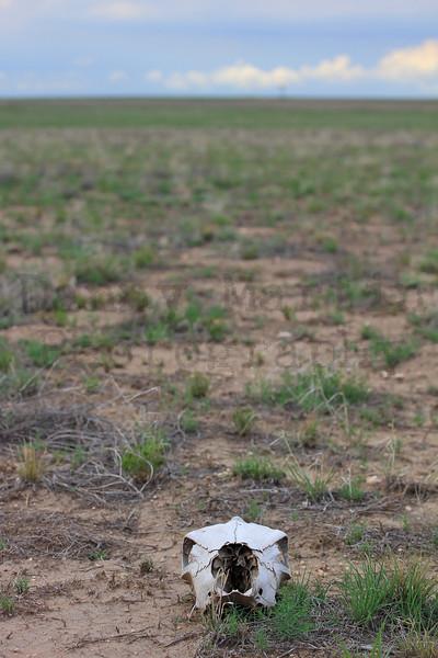 Cow skull on the prairie<br /> Rita Blanca National Grassland, Dallam County, Texas.