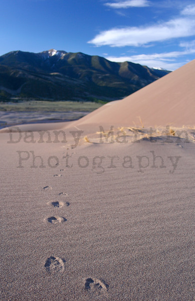 coyote tracks across the dunes.  Great Sand Dunes National Park, CO.