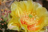 Prickly Pear Cactus bloom.  <br /> Weld County, Colorado.