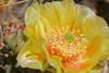 Prickly Pear Cactus bloom.  <br /> Weld County, Colorado.