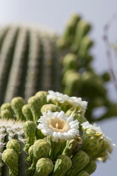 Saguaro in bloom<br /> Pima County, Arizona