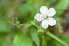 White Geranium, Roosevelt National Forest, Larimer County, Colorado