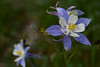 Columbine (Rocky Mountain National Park, CO).
