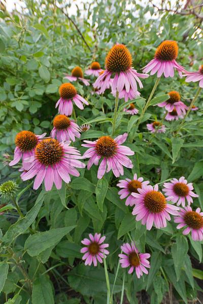 Echinacia (cultivar).  Colorado State University campus, Fort Collins, Colorado.