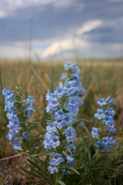Penstemon (Pawnee National Grassland, CO).