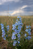 Penstemon (Pawnee National Grassland, CO).