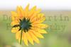 Sunflower<br /> Rita Blanca National Grassland, Dallam County, Texas.