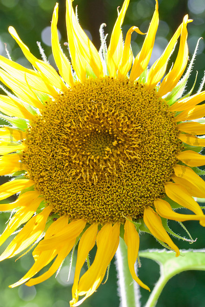 Sunflower cultivar in Harvey County, Kansas