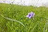 Spiderwort.<br /> Coffey County, Kansas
