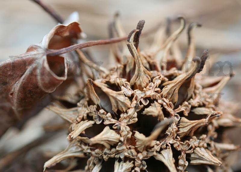 Sweetgum seed pod.  Alpharetta, Georgia.
