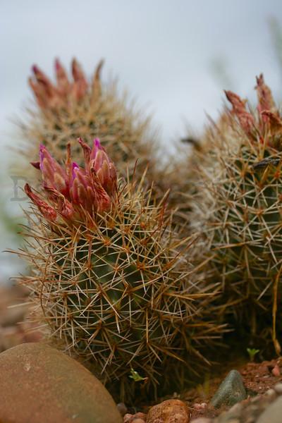 barrel cactus (south of Vernal, UT).