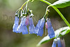 Mountain Bluebell, Roosevelt National Forest, Colorado