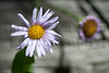 Aster, Roosevelt National Forest, Larimer County, Colorado