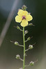 Moth Mullein<br /> Coffey County, Kansas