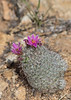 Cactus in bloom<br /> Pima County, Arizona