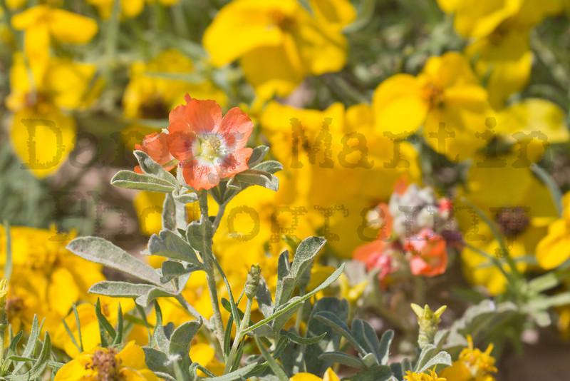 Copper Mallow<br /> Buffalo Lake National Wildlife Refuge, Texas.